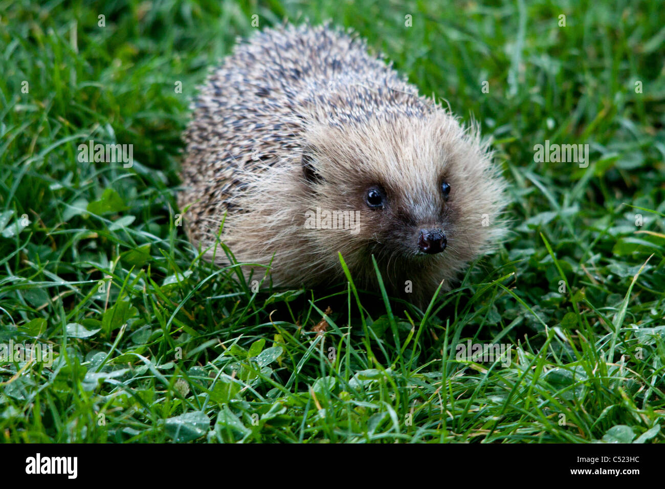 A Hedgehog at the British Wildlife Center searching for food - Stock Image