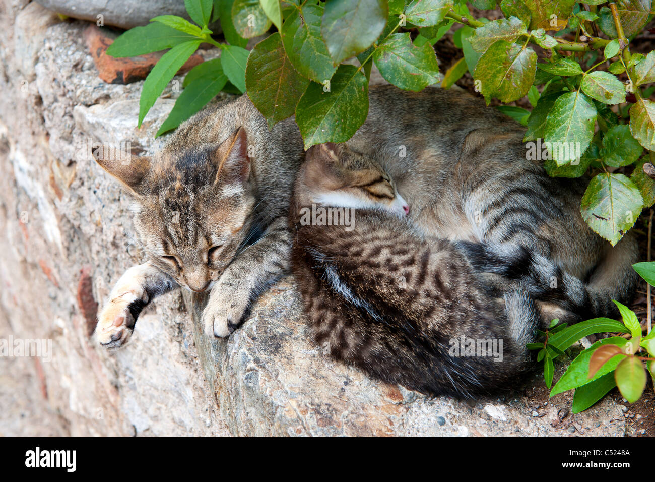 Tabby Greek stray cat with young kitten on the stone wall Stock Photo