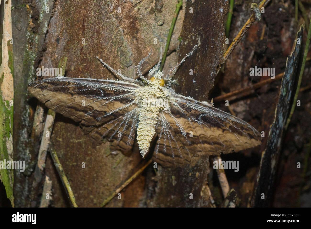 Moth consumed by Cordyceps fungus in the Amazon rainforest in Loreto Peru - Stock Image