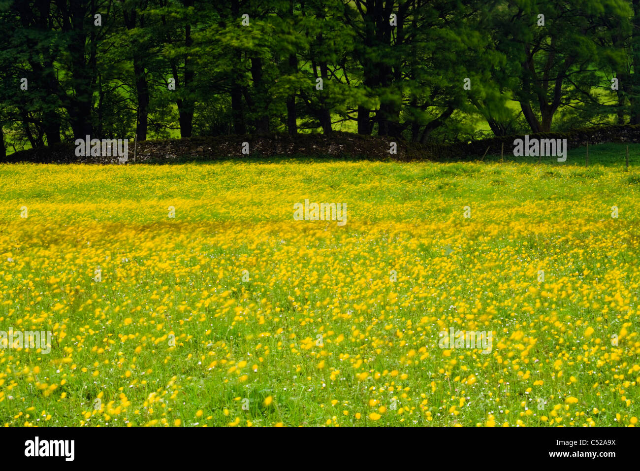 Windblown buttercups in field, Yorkshire Dales National Park, Yorkshire, UK. - Stock Image