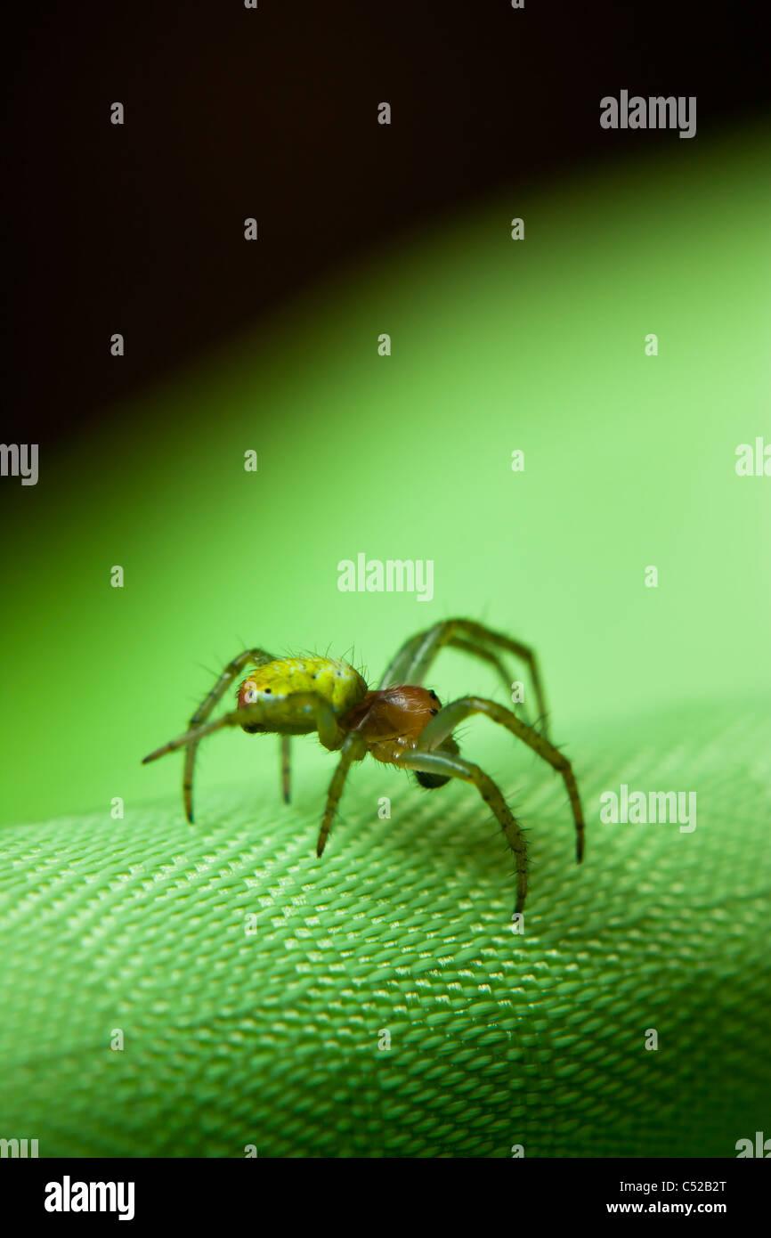 Araniella cucurbitina, the cucumber spider on green fabric - Stock Image