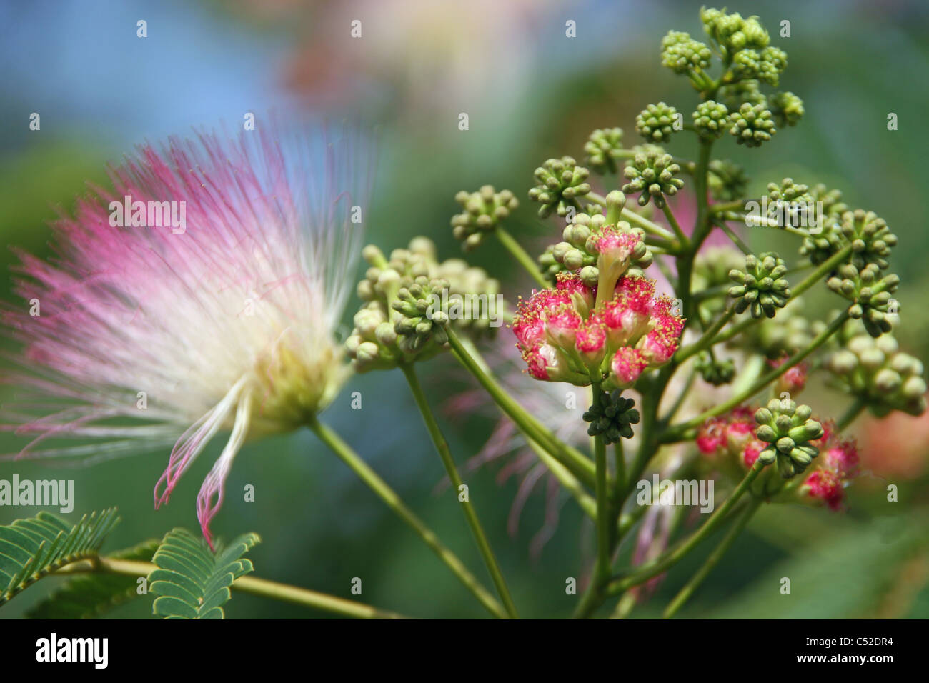 Pink Fluffy Blooms Stock Photos Pink Fluffy Blooms Stock Images