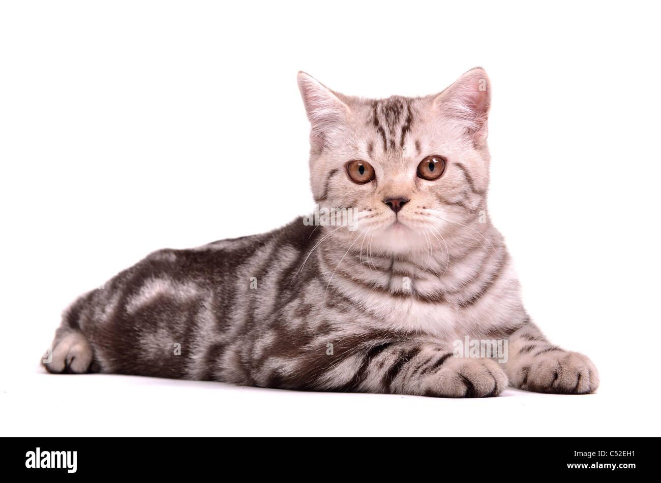 Scottish fold kitten lying isolated on white background - Stock Image