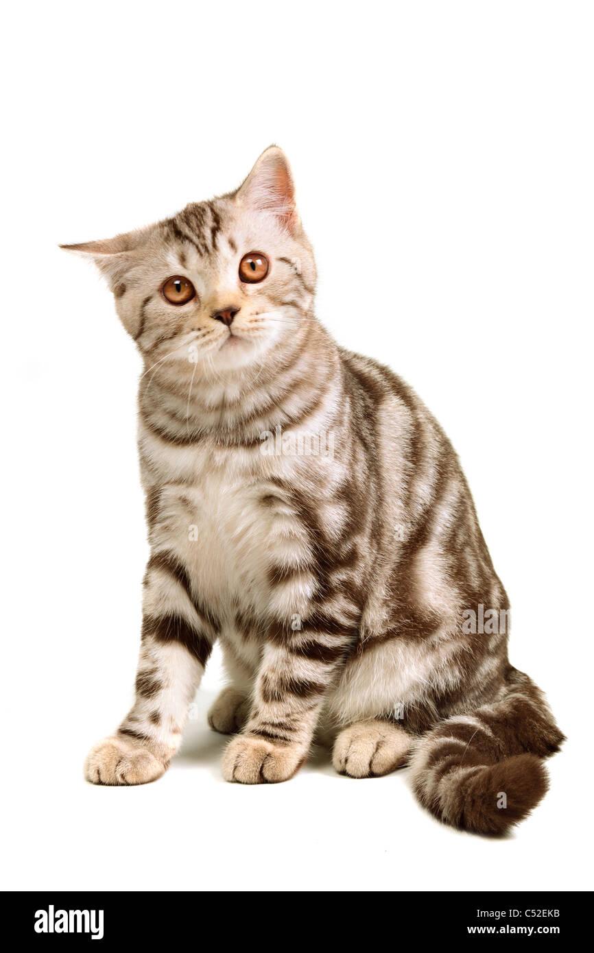 Scottish fold kitten sitting isolated on white background - Stock Image