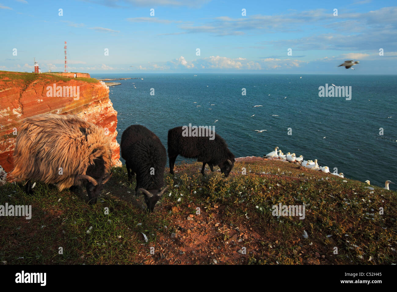 sheeps on the red bird cliff on island Heligoland (Helgoland); gannets sanctuary and the Heligoland lighthouse in - Stock Image