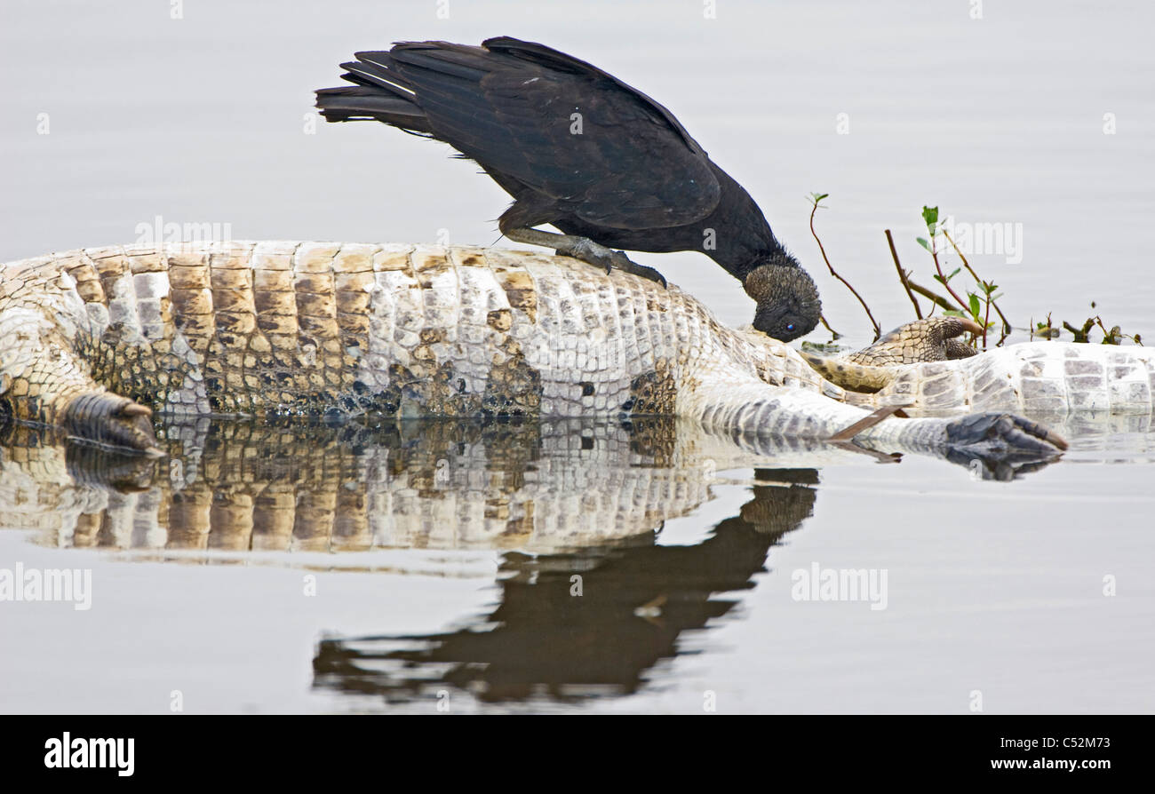 Dead American Alligator being food for black vultures - Stock Image