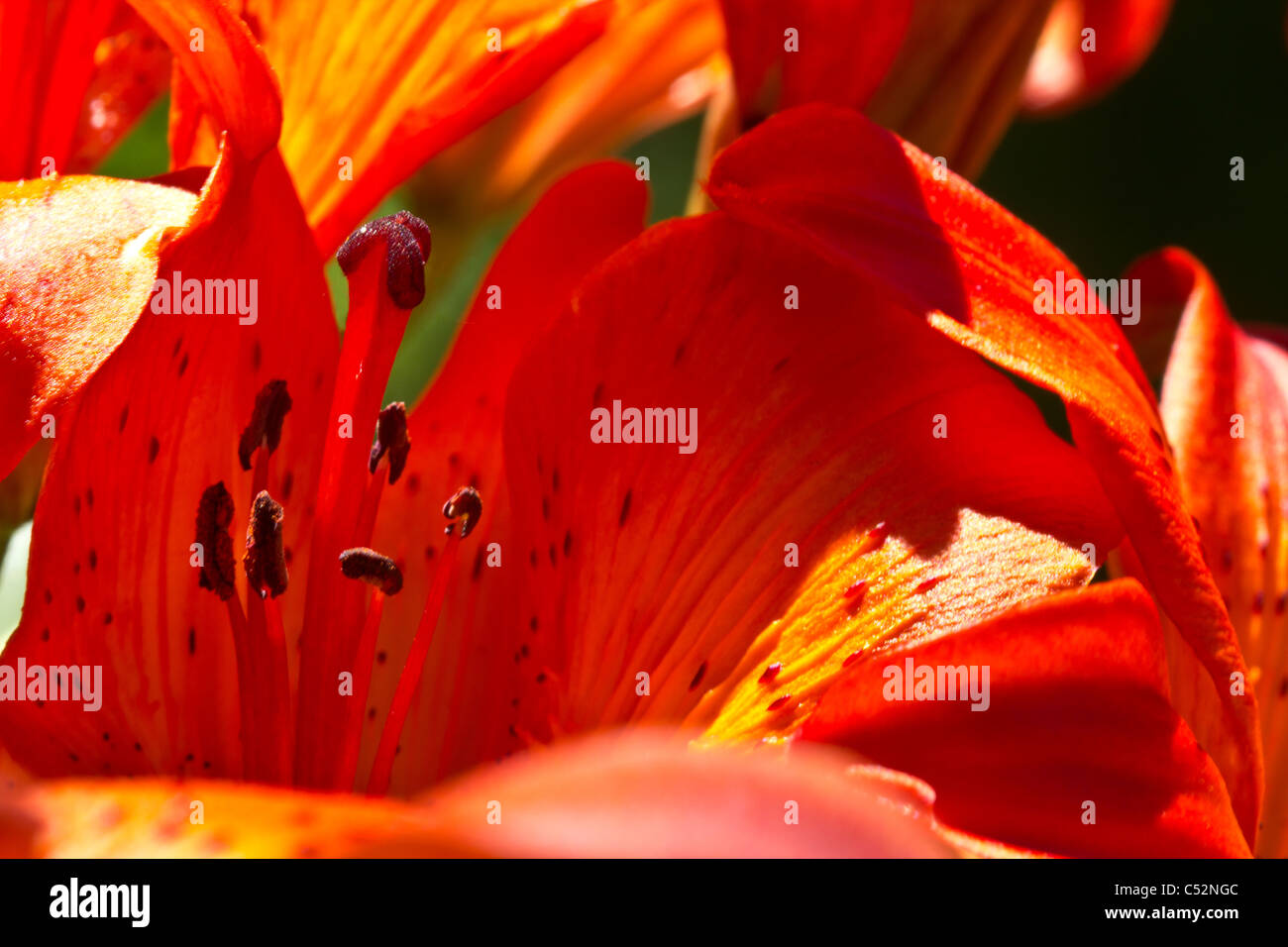 Closeup on a red flower's petals, pistil and stem Stock Photo