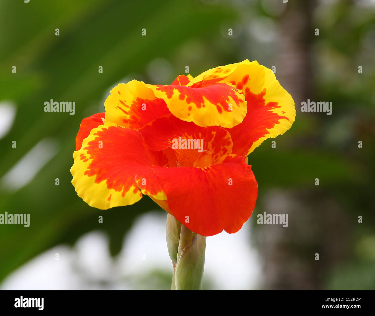 Central America Red Orange Yellow Petals Flower Head Flowers Bloom