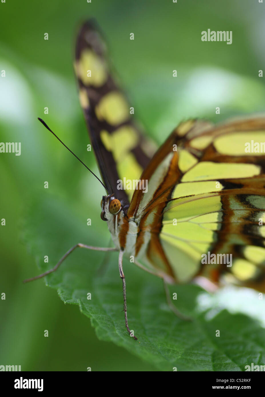 Siproeta stelenes, commonly known as the Malachite, is a neotropical brush-footed butterfly (family Nymphalidae) - Stock Image