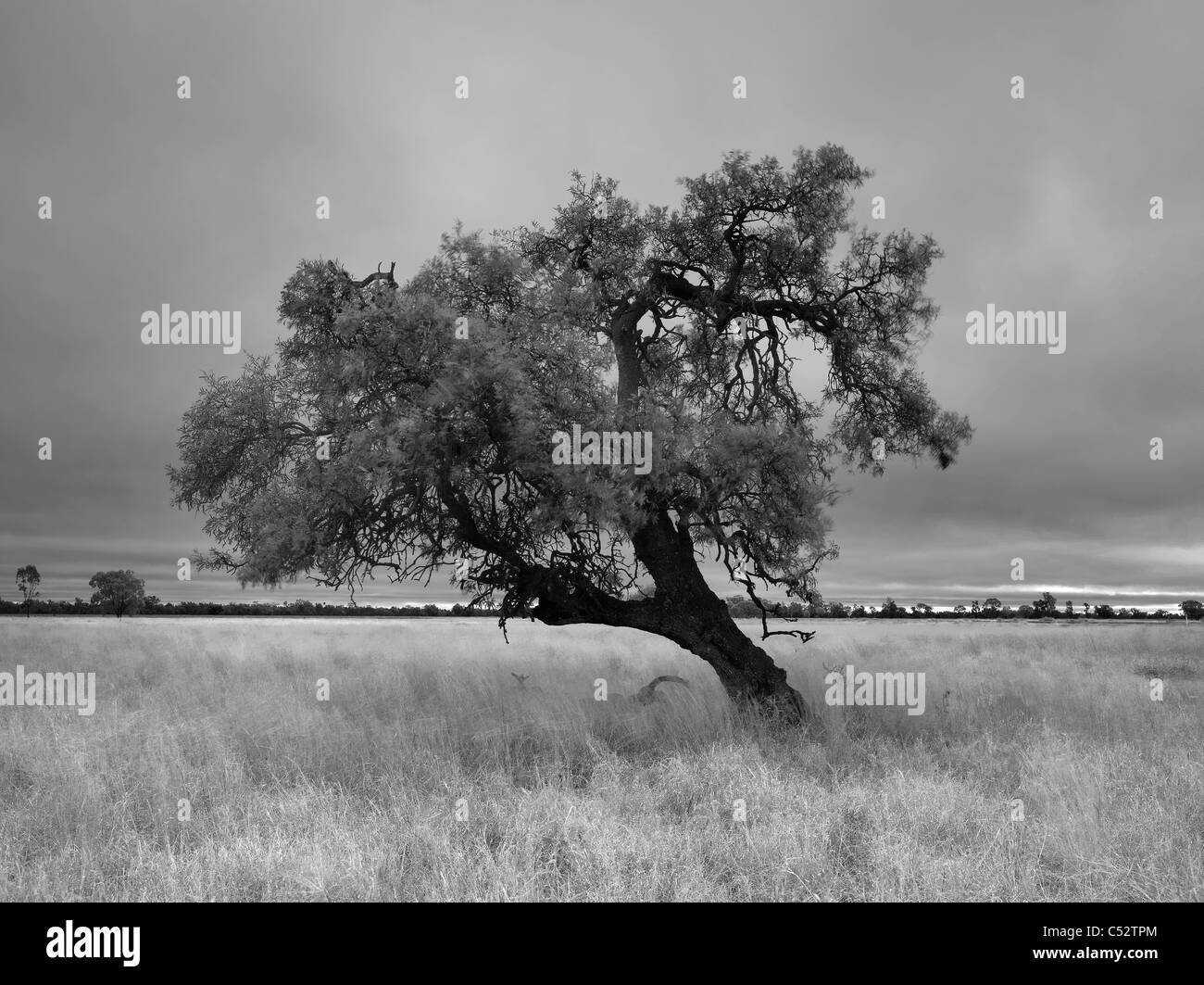 Twisted tree shape  in grazing country, Gulargambone, NSW Australia - Stock Image