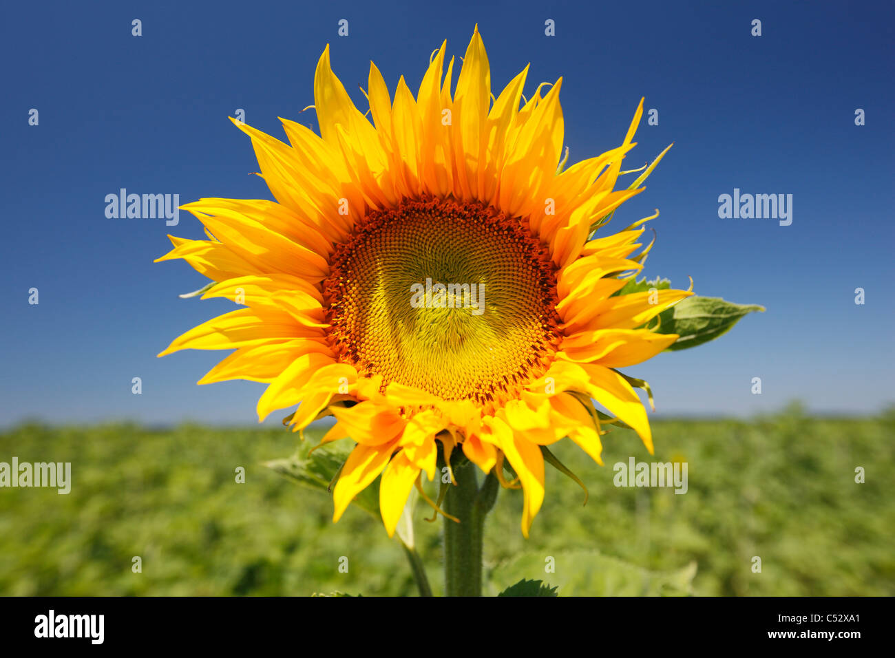 Sunflower in the field - Stock Image