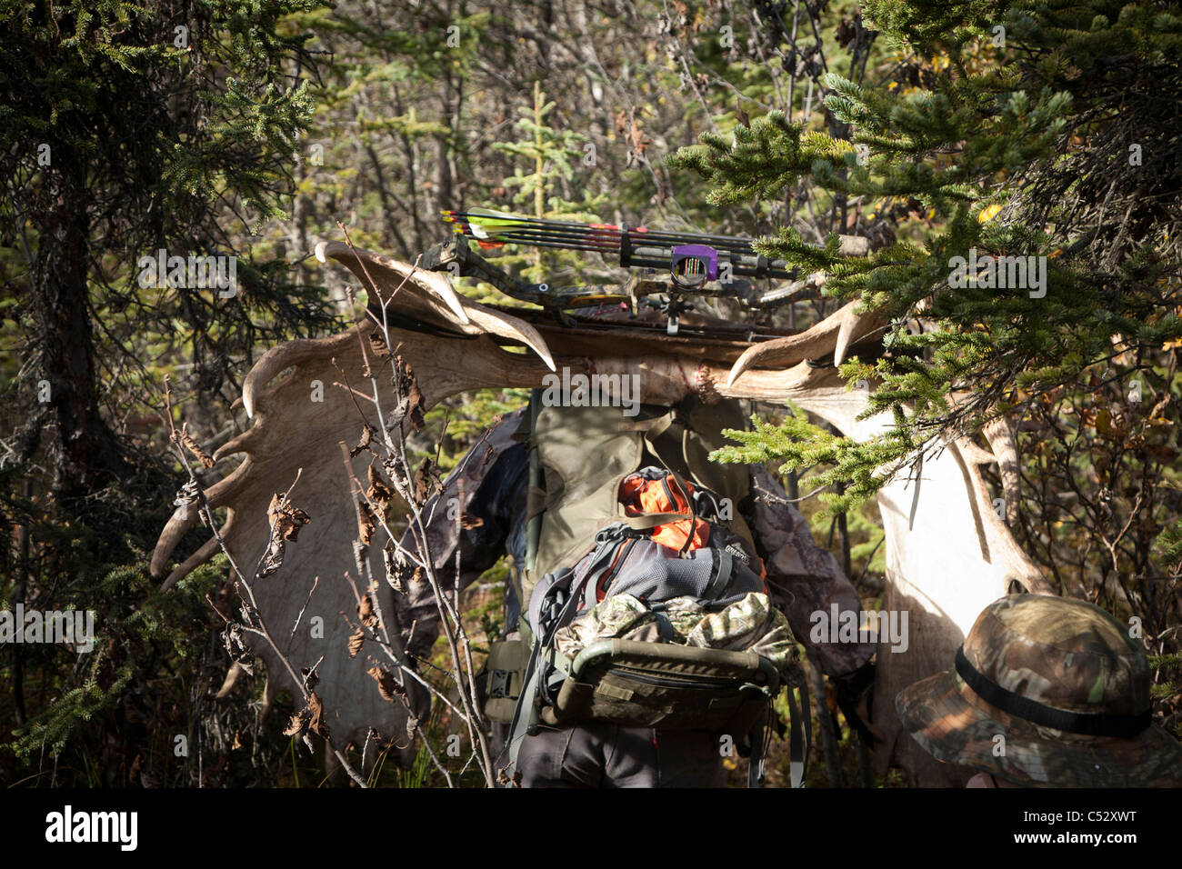 Bow hunter muscles his way through a dense Black Spruce forest carrying large moose antler, Chugach State Park, - Stock Image