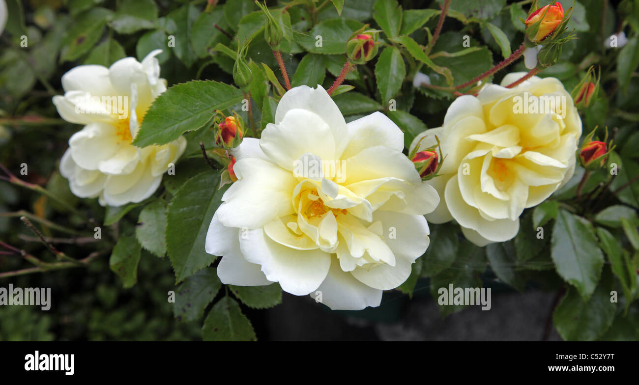 Yellow flower carpet rose stock photos yellow flower carpet rose yellow flower carpet rose repeat flowering ground cover rose in an irish garden stock mightylinksfo Image collections