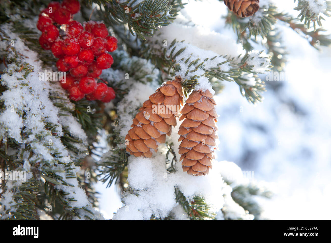 Close up of Red Elderberries and cones on snow-covered evergreen tree, Alaska, Winter - Stock Image