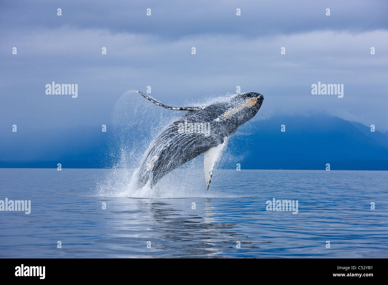 A Humpback whale breaches along the shoreline of Chichagof Island in Chatham Strait, Inside Passage,  Alaska. COMPOSITE - Stock Image