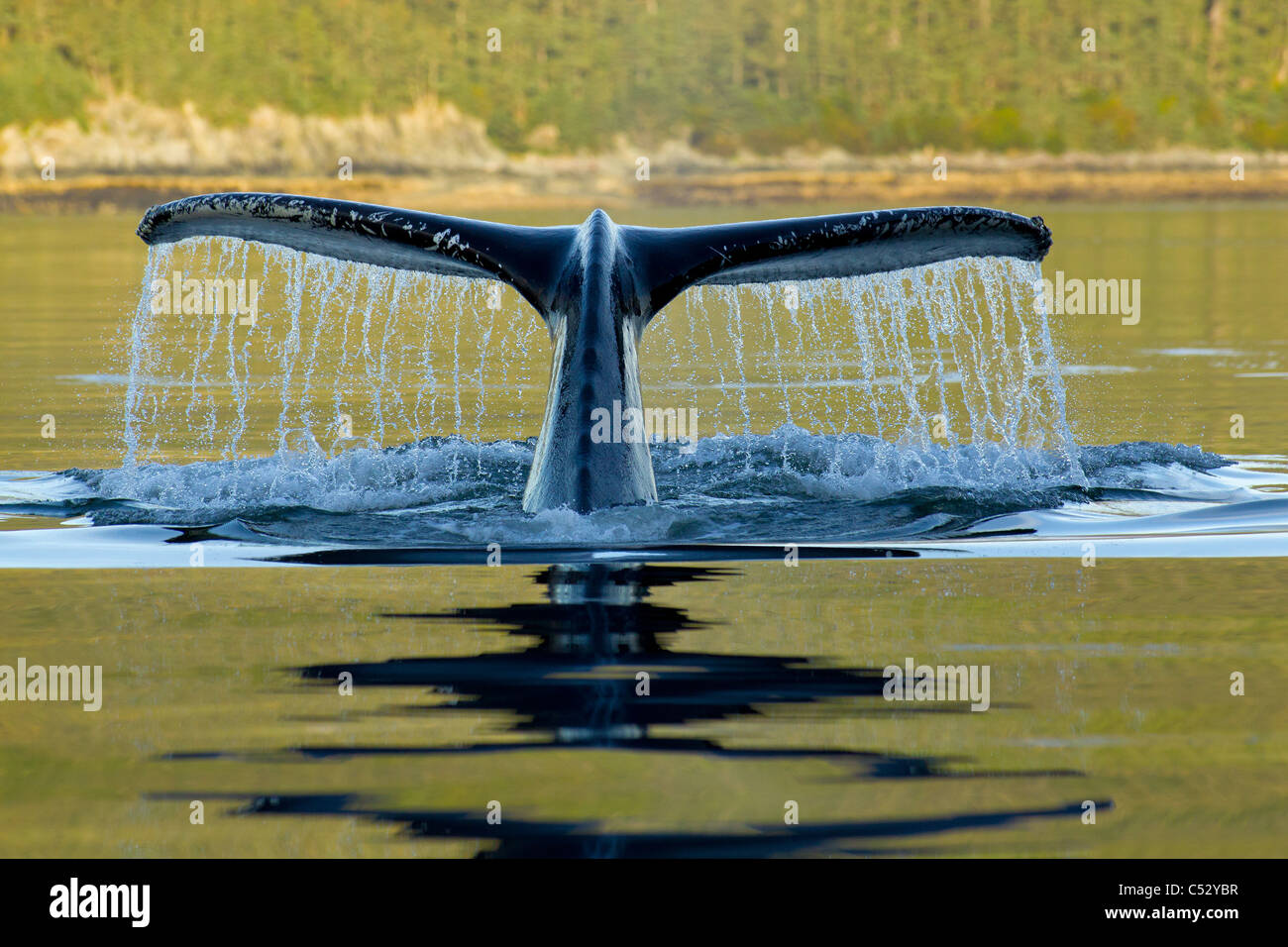 Humpback whale diving into the depths of Frederick Sound with tail fluke visible, Admiralty Island, Inside Passage, - Stock Image