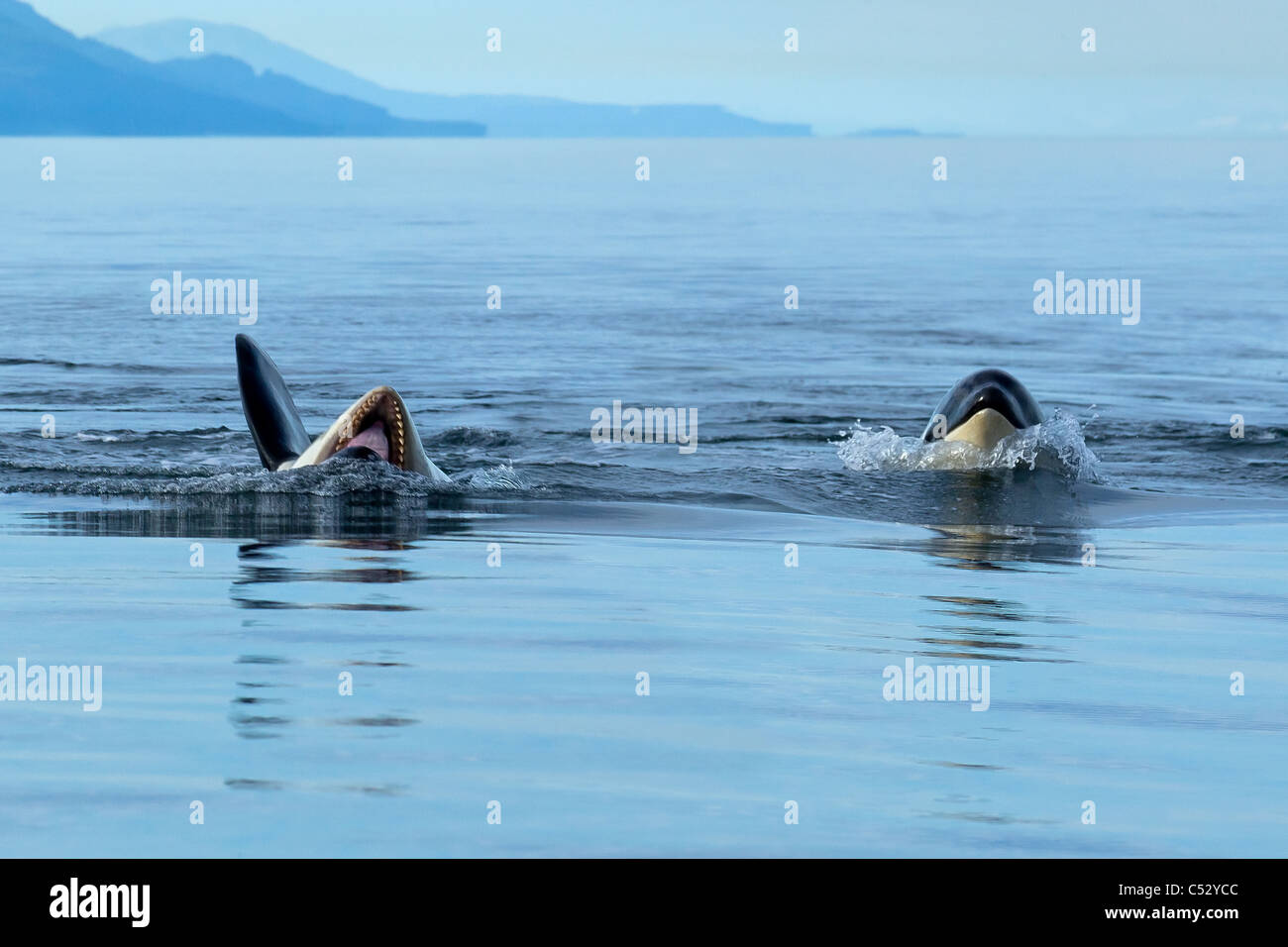 An orca rolls onto its back and opens it mouth as it plays at the surface in Chatham Strait, Inside Passage, Souteast - Stock Image