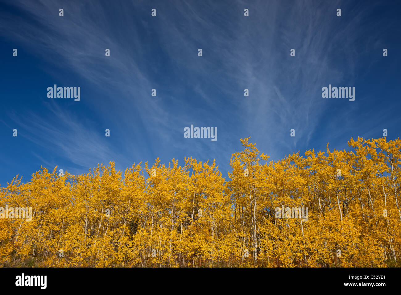 View of scenery and yellow Aspen trees along the Alaska Highway between Haines and Haines Junction, Yukon Territory, - Stock Image