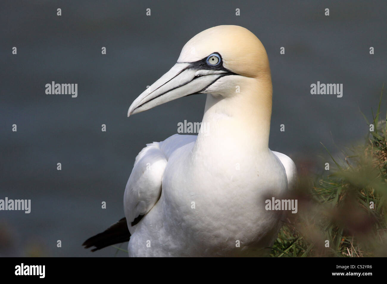 A Northern Gannet Morus bassanus At Bempton Cliffs RSPB Reserve, UK - Stock Image
