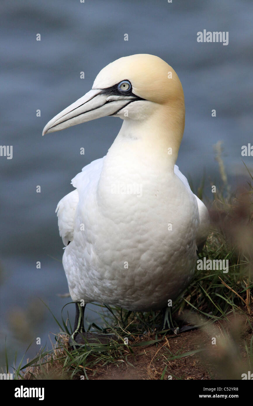 A Northern Gannet Morus bassanus Standing At Bempton Cliffs RSPB Reserve, UK - Stock Image