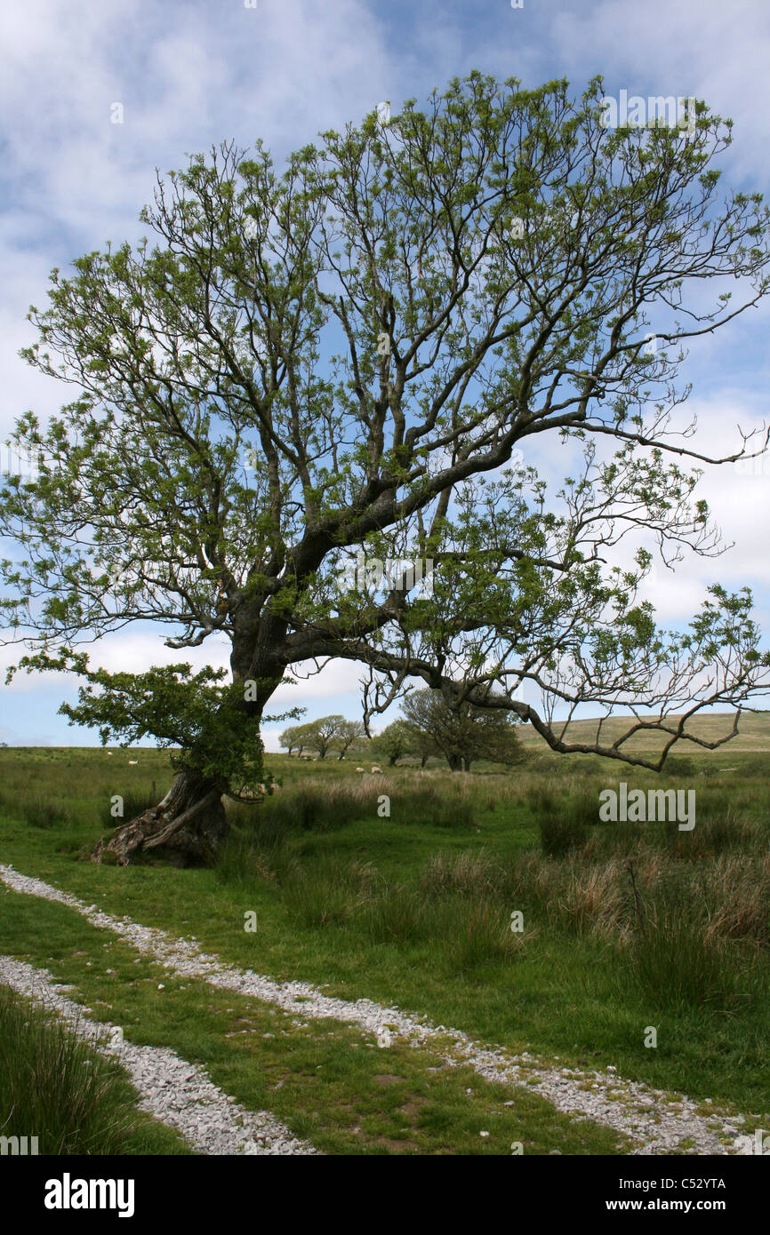 An Old Tree Stands On A Farm Track Above Stocks Reservoir, Lancashire - Stock Image
