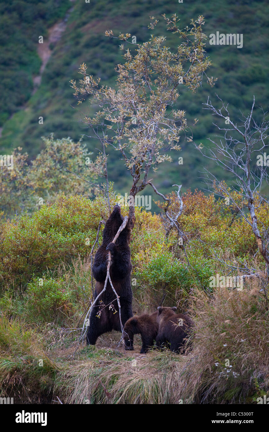 Brown Bear sow rubs against a tree to take care of an itch while cubs look on, Kinak Lagoon,  Katmai National Park, - Stock Image