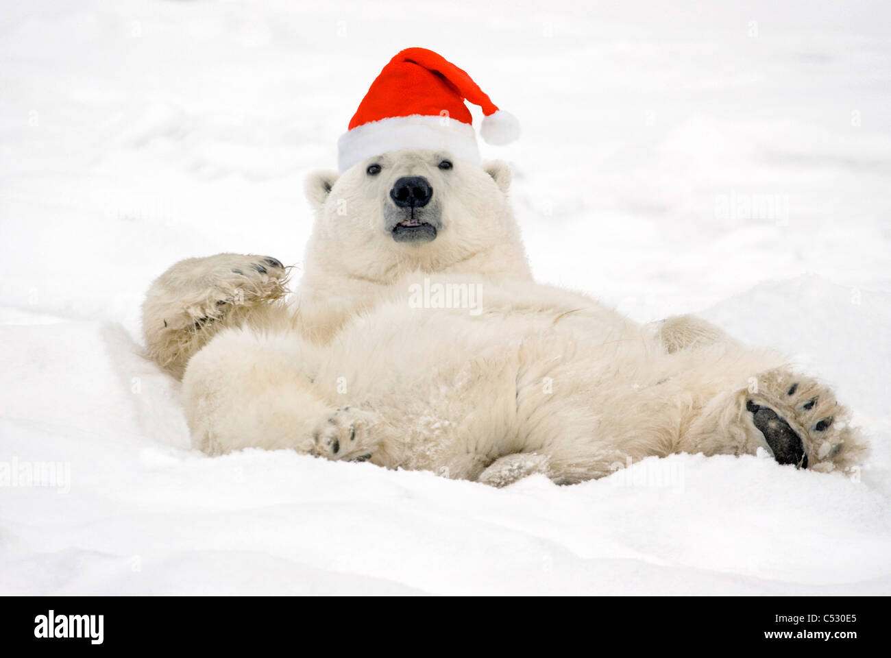 Polar Bear wearing Santa hat lying on its back in snow at Churchill, Manitoba, Canada. Composite - Stock Image