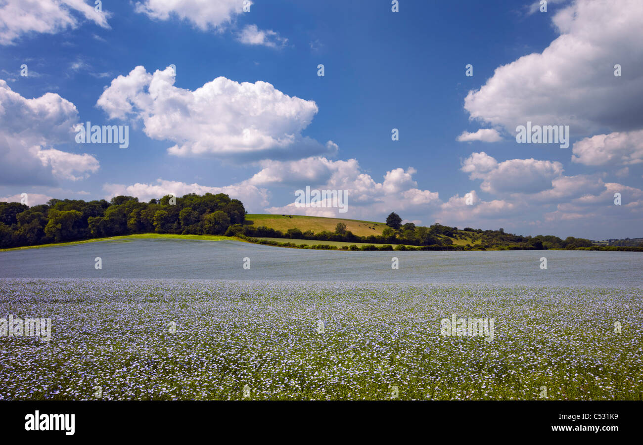 Field of flax near Exton, Hampshire, England. - Stock Image