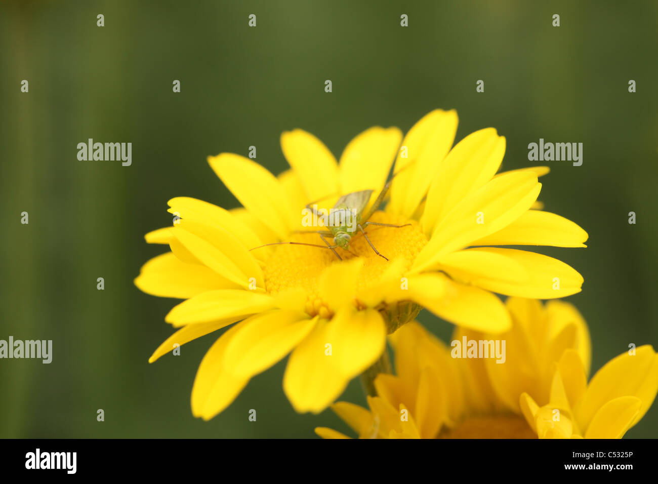 Common Green Capsid Bug (Lygocoris pabulinus) on a yellow daisy flower (Euryops pectinatus) in an English garden - Stock Image