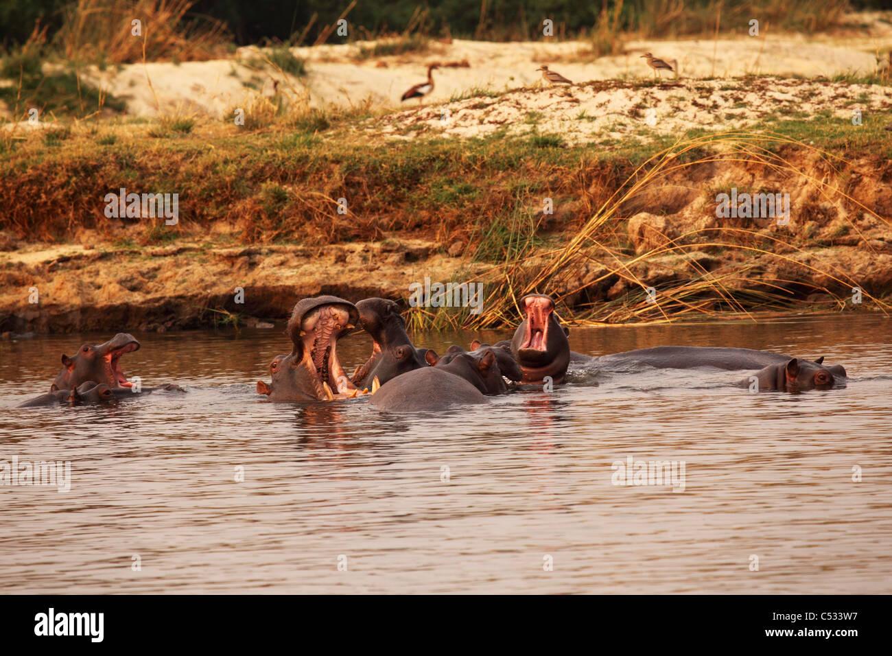 A group of Hippopotamus in the Zambezi River close to the Victoria Falls, Zimbabwe. Stock Photo