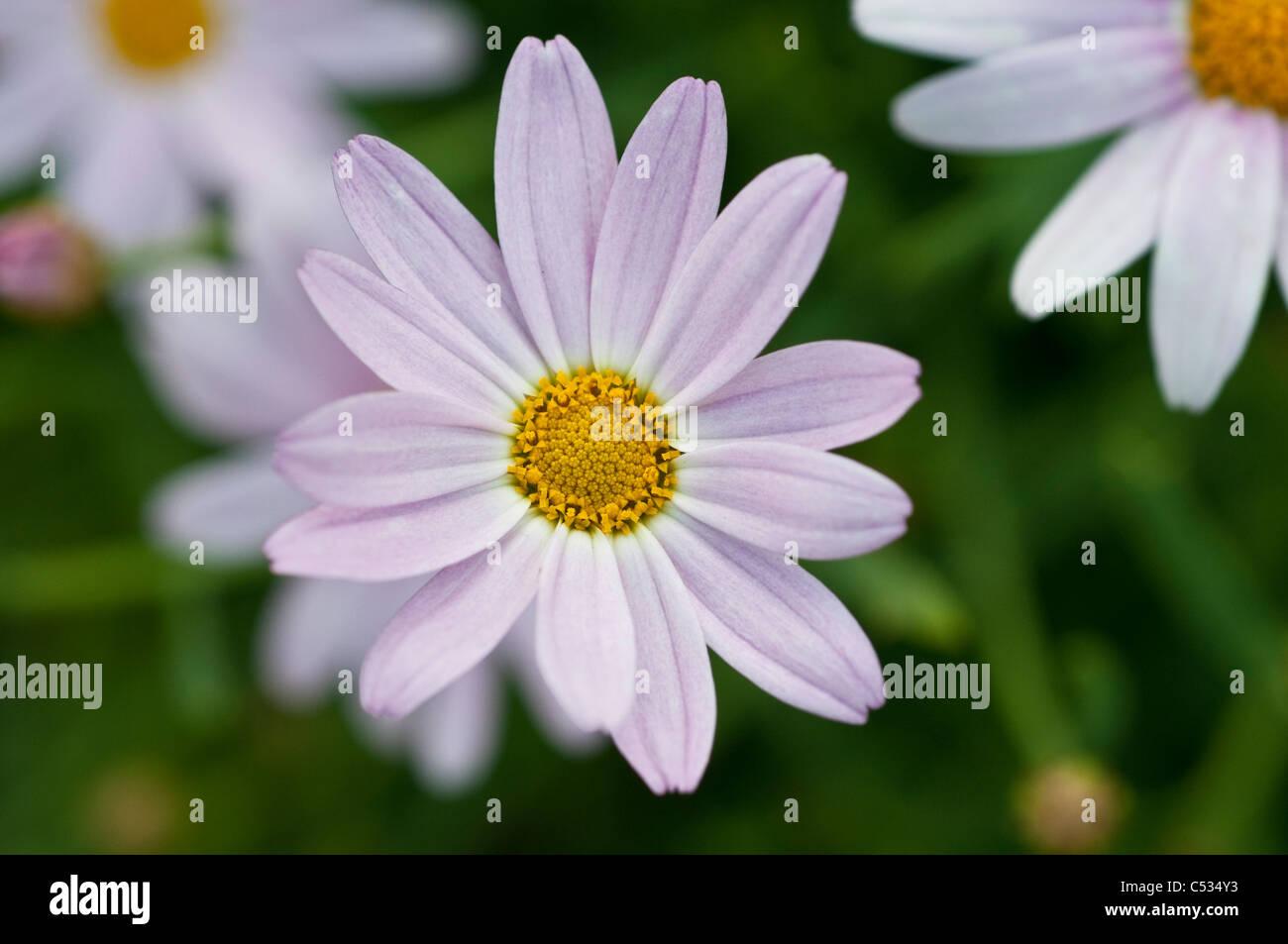 Daisy like flower stock photos daisy like flower stock images alamy single daisy like flower stock image izmirmasajfo