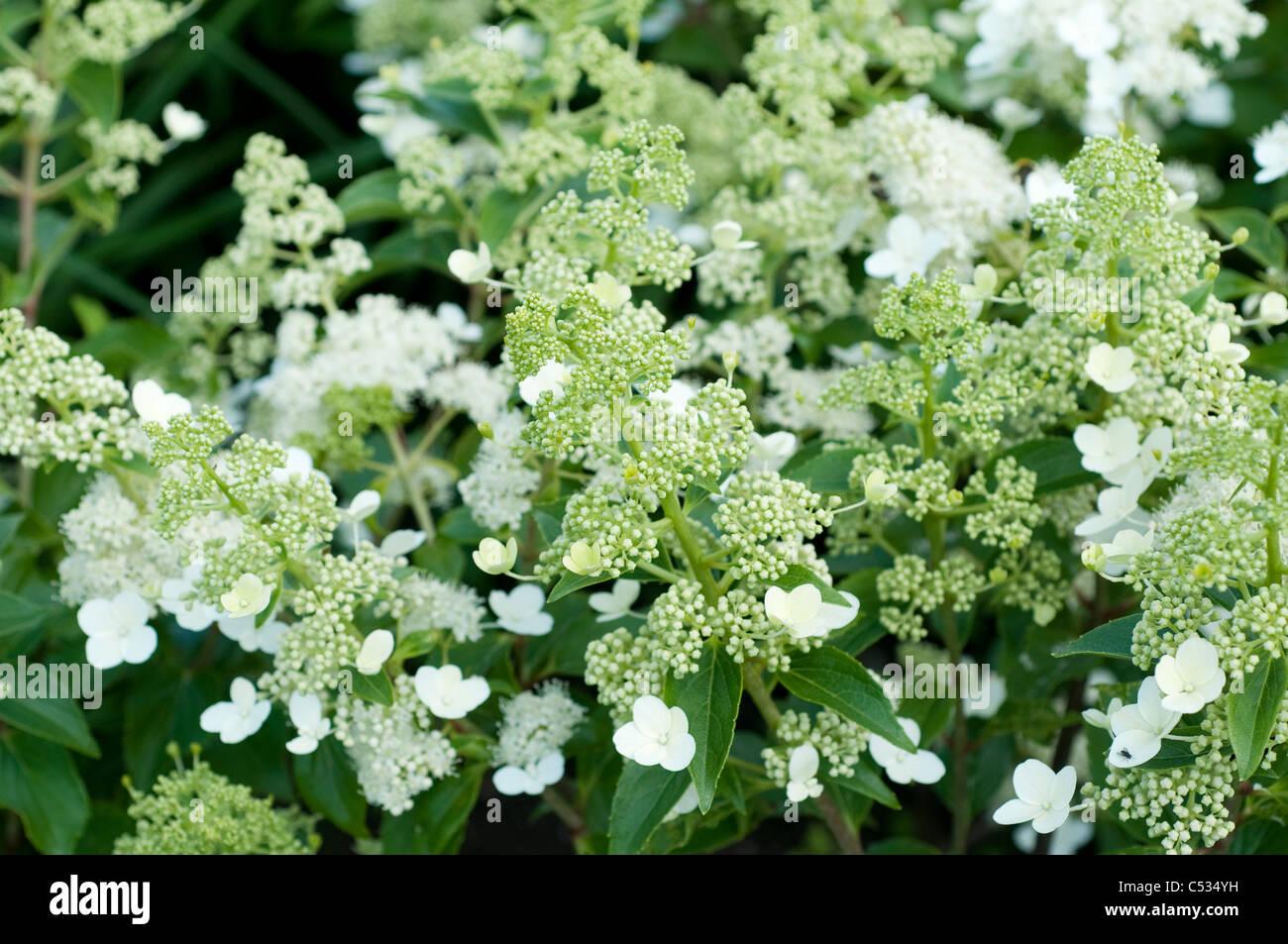 Hydrangea paniculata 'Kyushu' - Stock Image