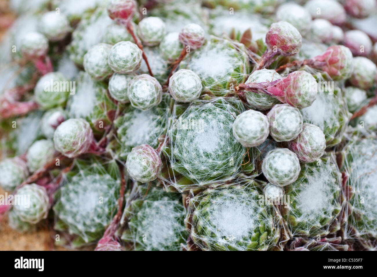 Sempervivum Spider's Lair - Houseleeks or Liveforever - Stock Image