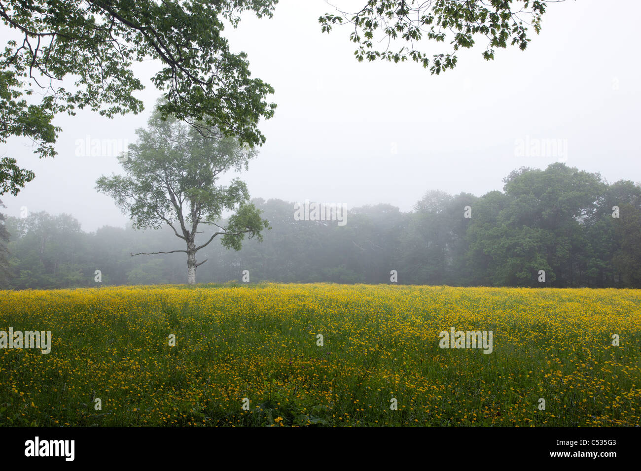 A field of yellow flowers in maine stock photo 37564243 alamy a field of yellow flowers in maine mightylinksfo