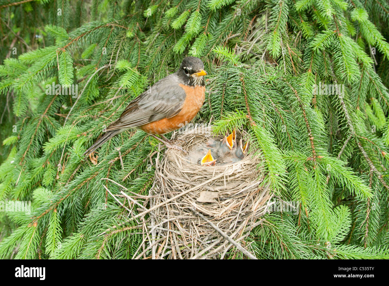 American Robin at Nest - Stock Image