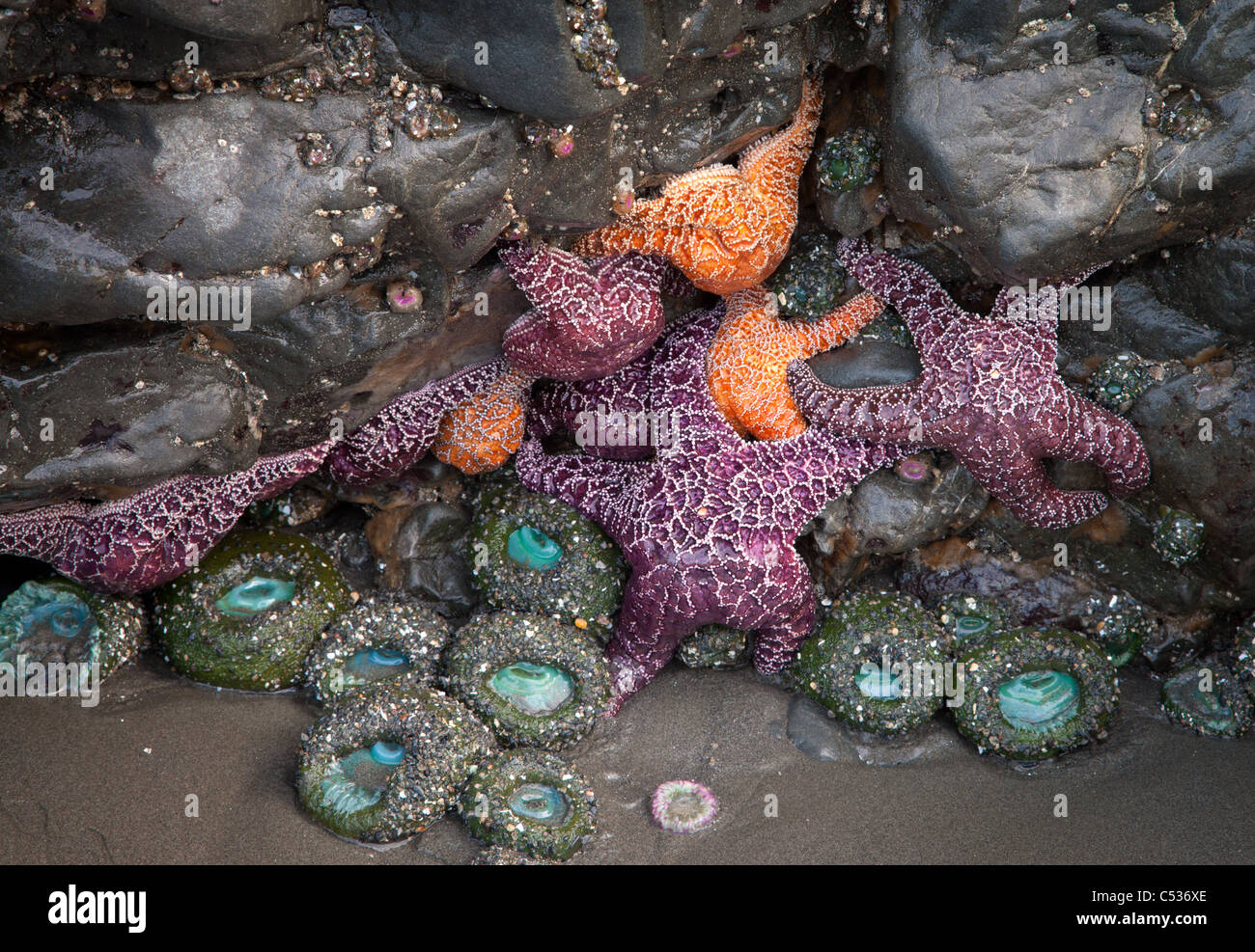 ochre star (Pisaster ochraceus) and green sea anemone, Ruby Beach, Olympic National Park, Washington - Stock Image
