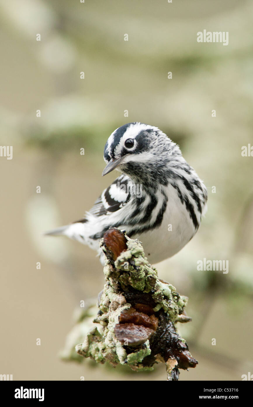 Black and White Warbler - vertical - Stock Image
