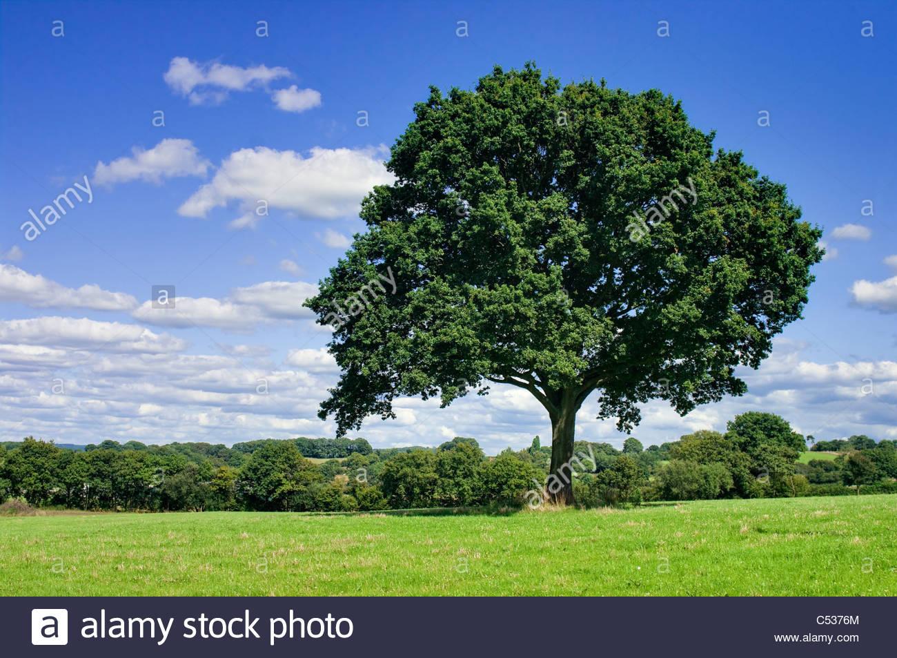 Oak tree in field, summer –  UK - Stock Image