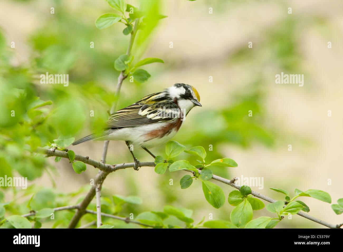 Chestnut-sided Warbler Stock Photo