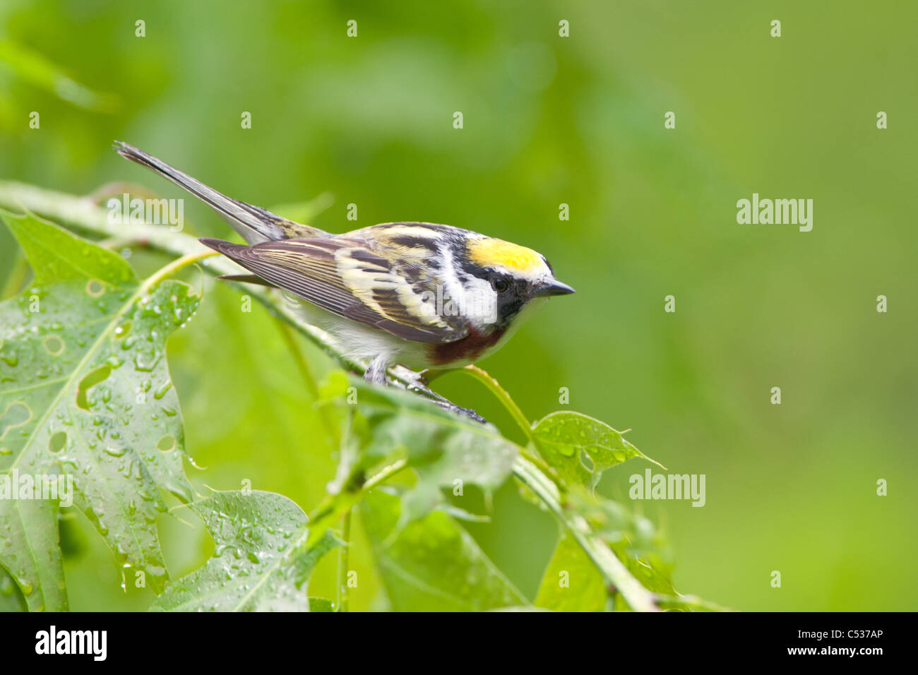 Chestnut-sided Warbler Stock Photo