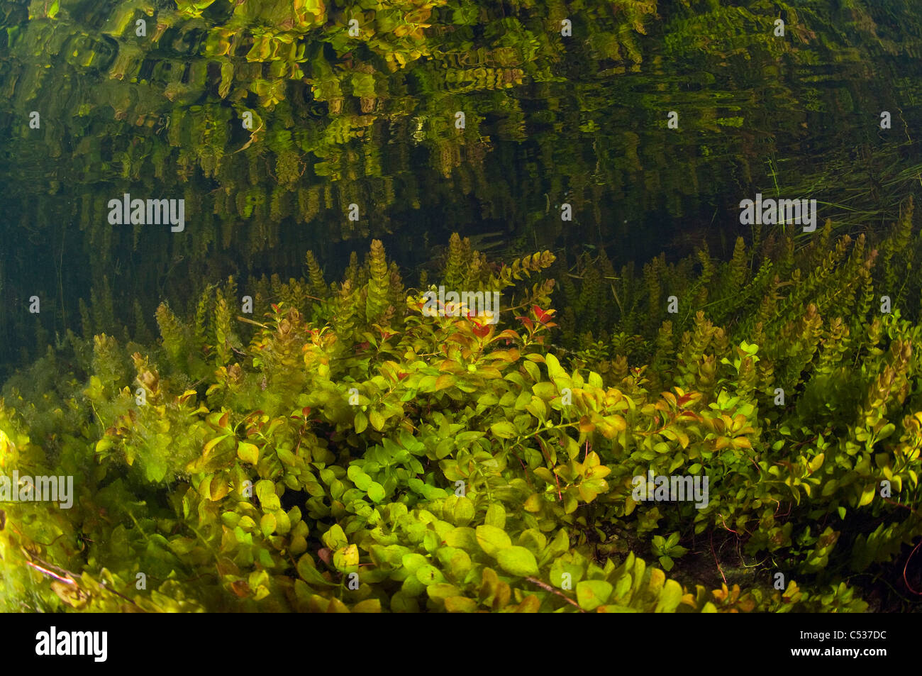 Underwater plants thrive in the crystal clear water flooding cypress forests in the Florida Everglades. - Stock Image
