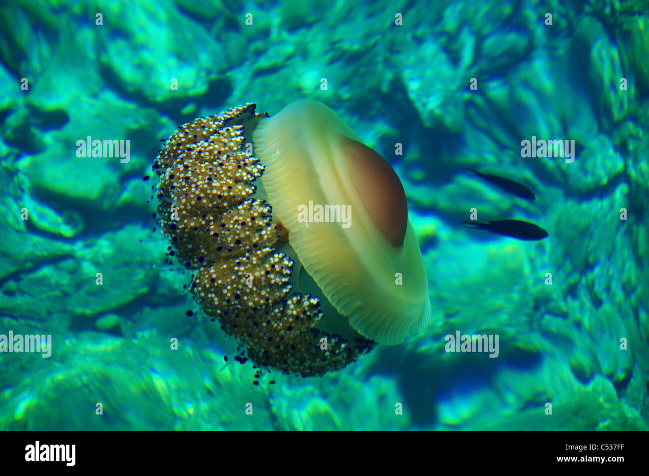 Mediterranean jellyfish - Stock Image