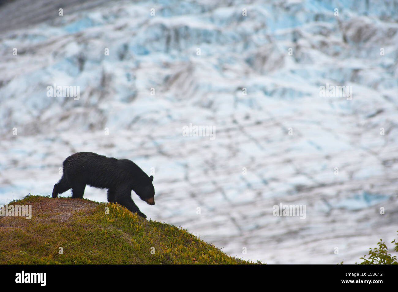 A black bear foraging for berries on a hillside near the Harding Icefield Trail, Kenai Fjords National Park, Seward, - Stock Image