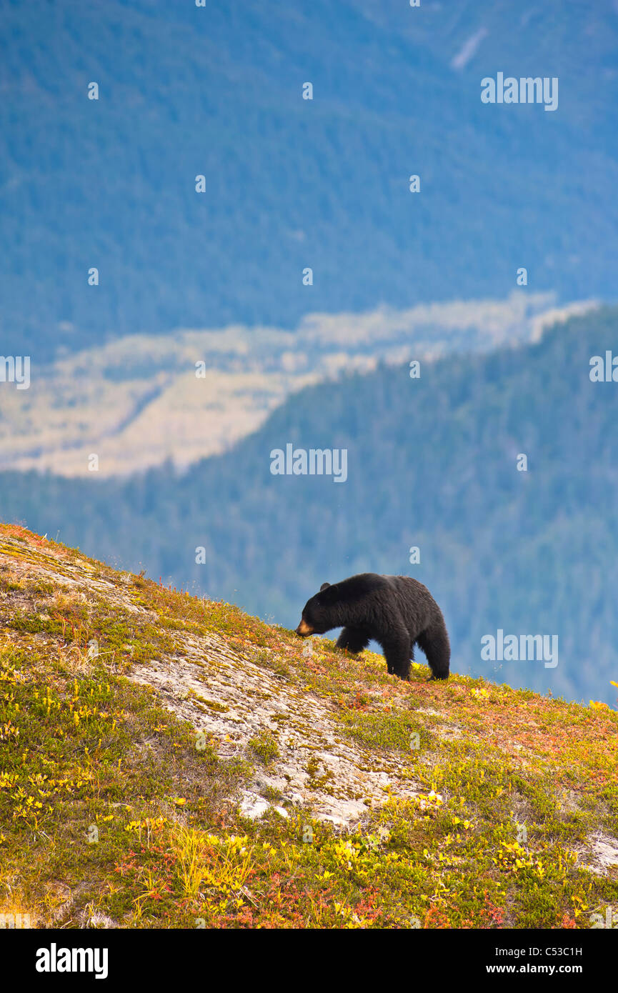 A black bear foraging for berries near the Harding Icefield Trail near Exit Glacier, Kenai Fjords National Park, - Stock Image