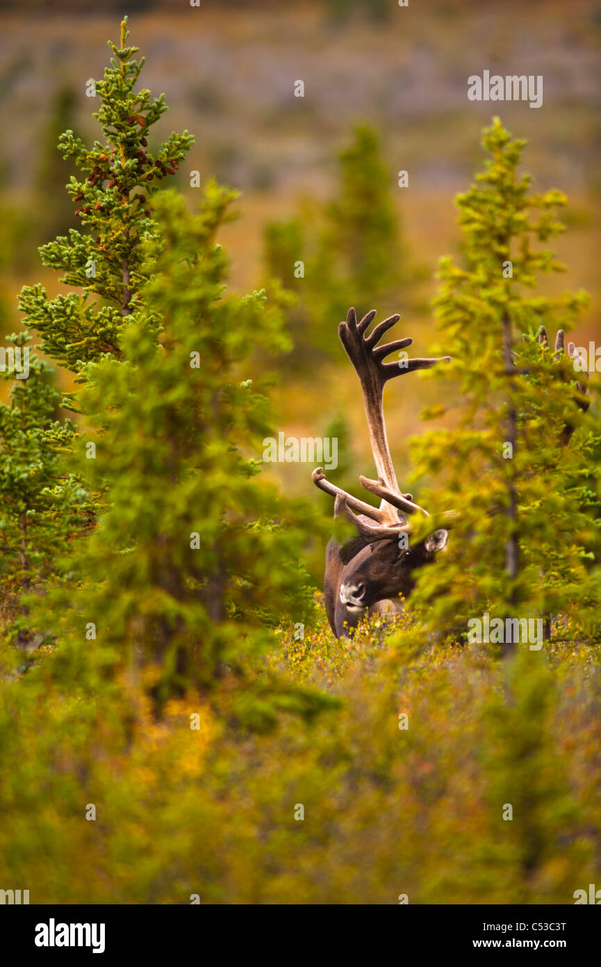A bull caribou standing between spruce trees in Denali National Park and Preserve, Interior Alaska, Summer - Stock Image