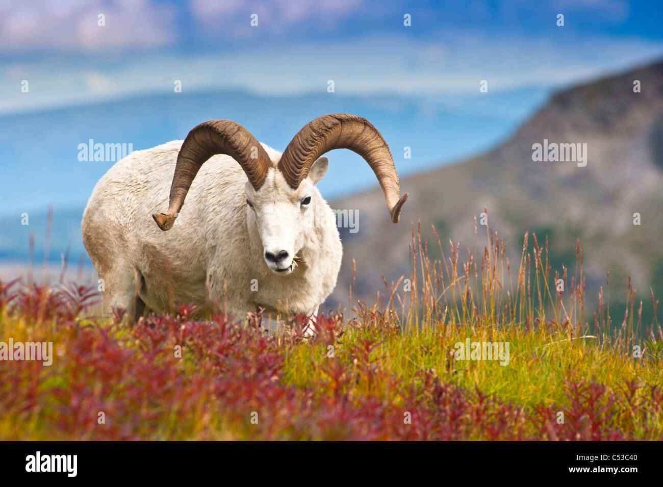 Close up of a large Dall sheep ram standing on Fall tundra near Savage River Valley in Denali National Park, Alaska - Stock Image