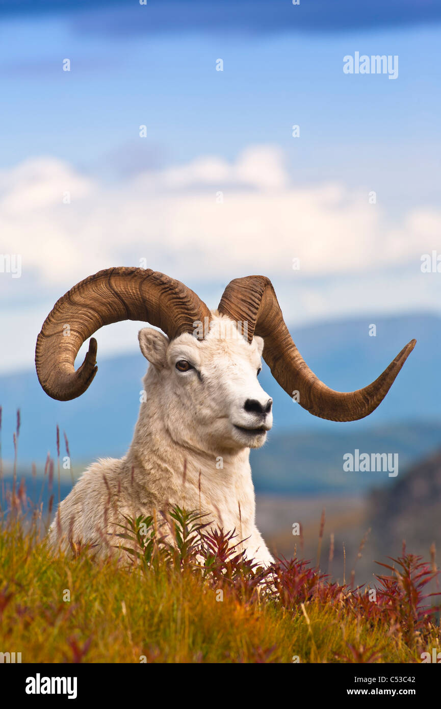 Adult Dall sheep ram resting on a hillside on Fall tundra near Savage River Valley in Denali National Park, Alaska - Stock Image