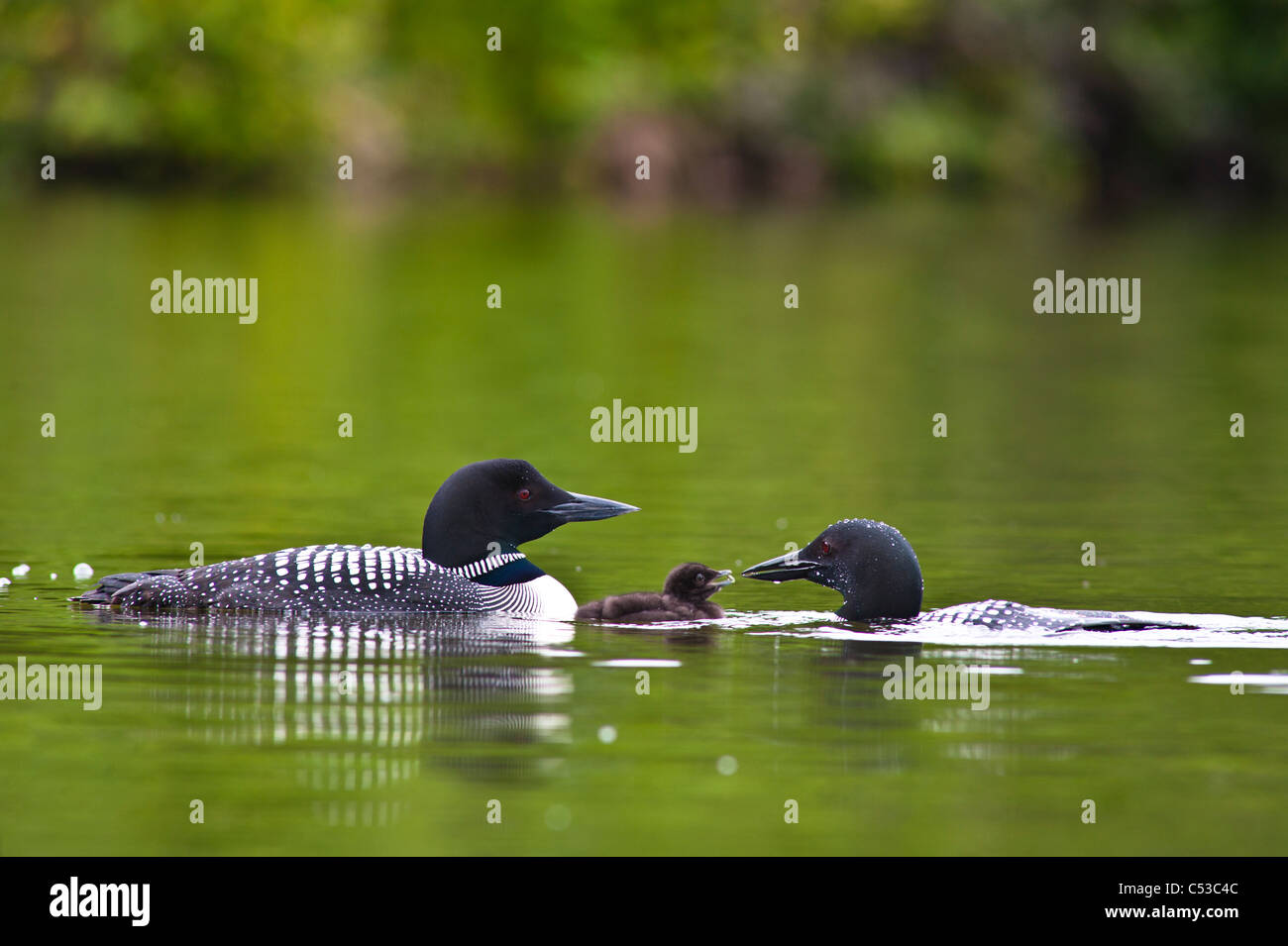 Close up view of two Common Loons feeding their chick on Beach Lake, Chugach State Park, Southcentral Alaska, Summer - Stock Image