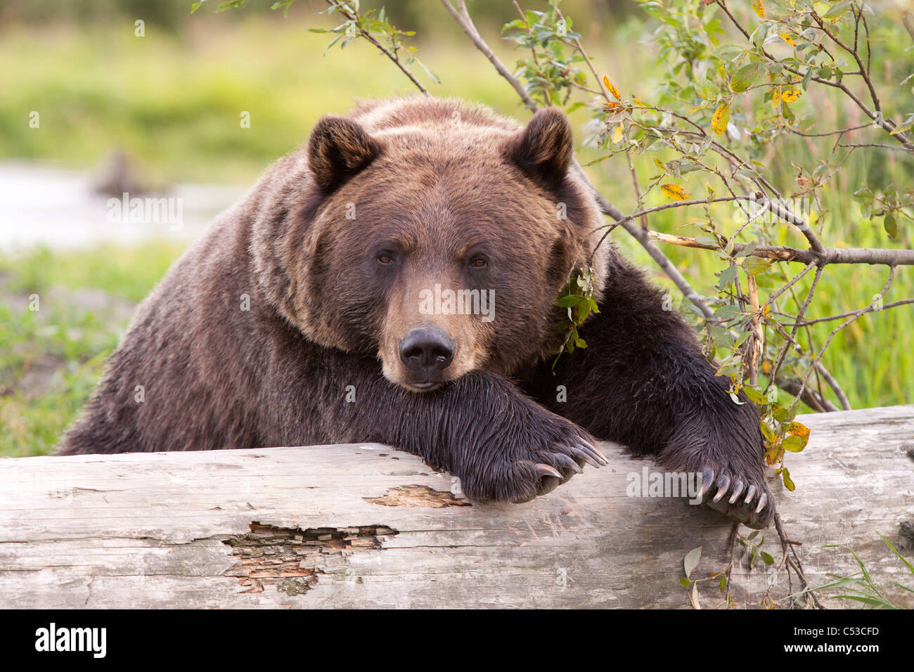 A female Brown bear lays draped over a log, Alaska Wildlife Conservation Center, Southcentral Alaska, Summer. Captive - Stock Image