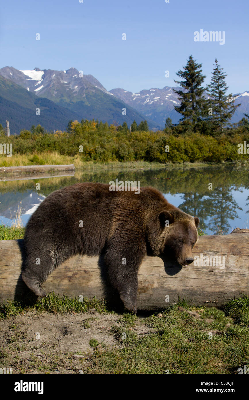 Female grizzly lies draped over a log with a pond in the background, Alaska Wildlife Conservation Center, Alaska. - Stock Image